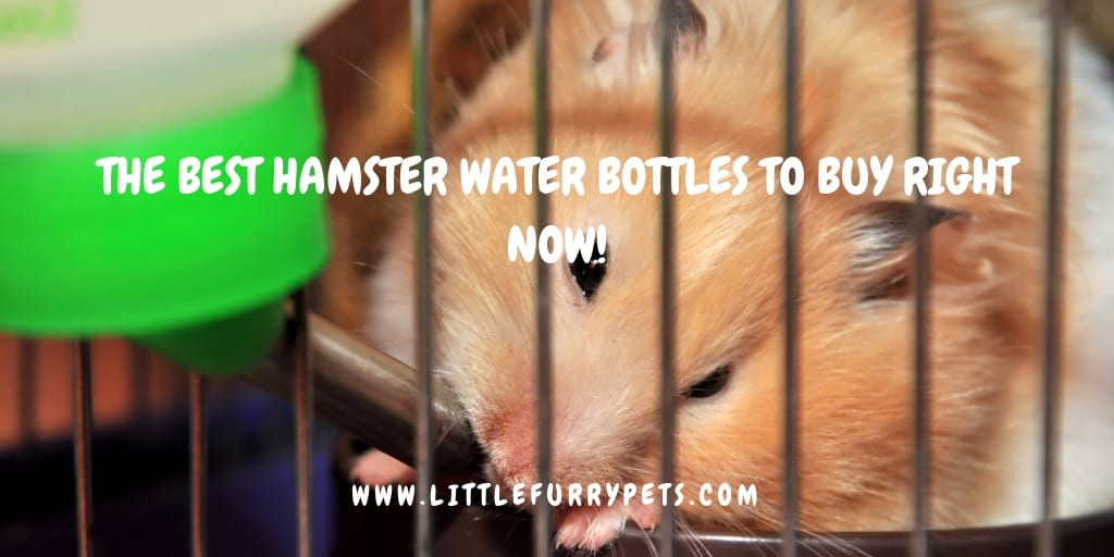 Hamster drinking from water bottle