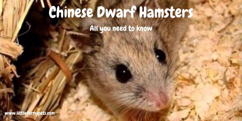 Chinese dwarf hamster – All you need to know