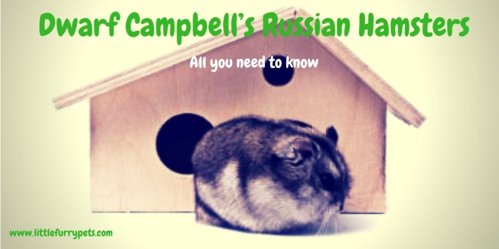 Dwarf Campbell's Russian Hamster – All you need to know