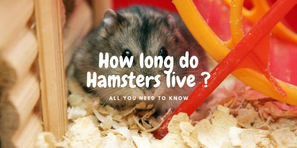 How long do hamsters live – A guide to hamster lifespan