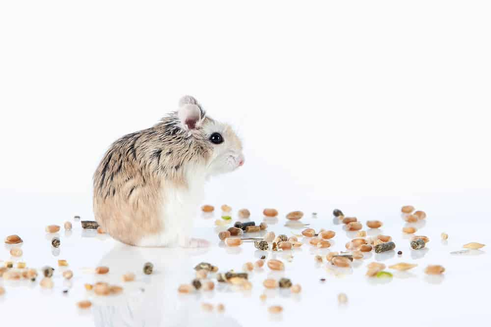 Pet Roborovski hamster eating