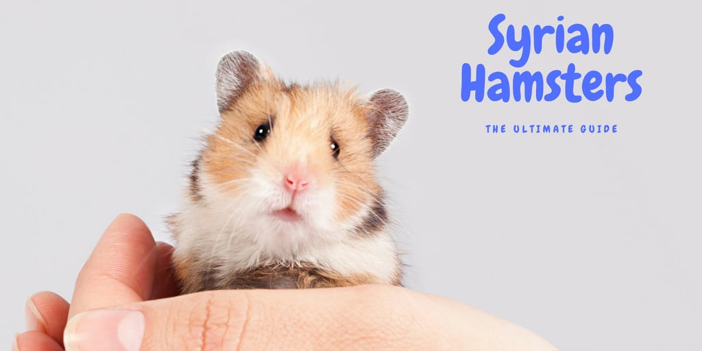 Syrian Hamster - The Ultimate Guide - Little Furry Pets