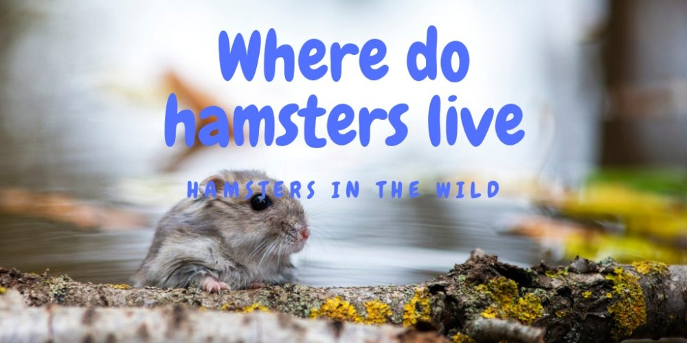 Where do Hamsters live?