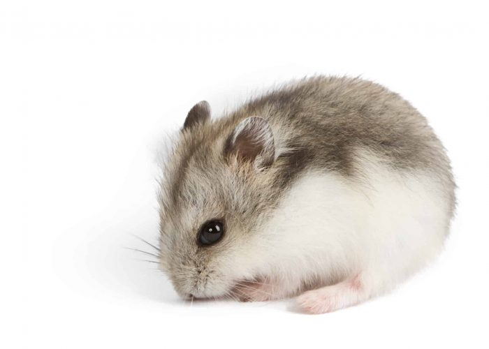 Campbell's Dwarf Hamster – Breed guide and care tips