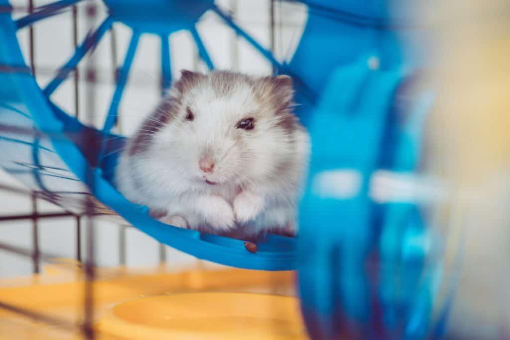 hamster on exercise wheel