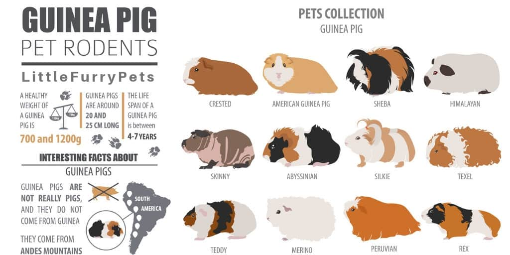 Guinea Pig Breed Infographic