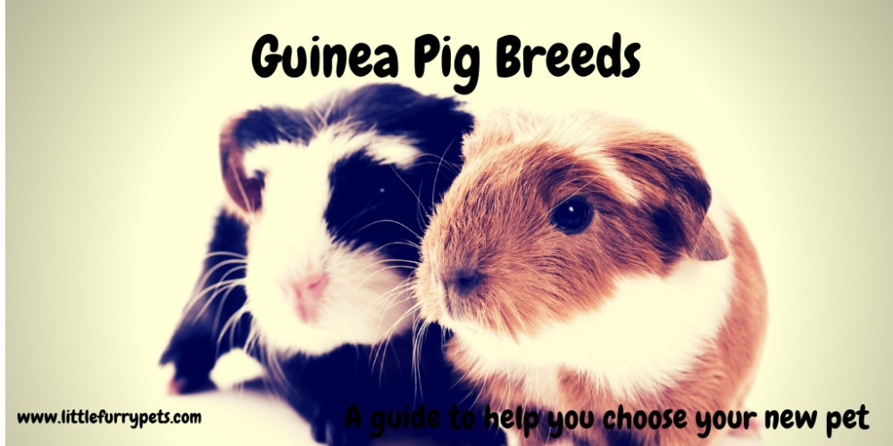 Guinea Pig Breed Guide