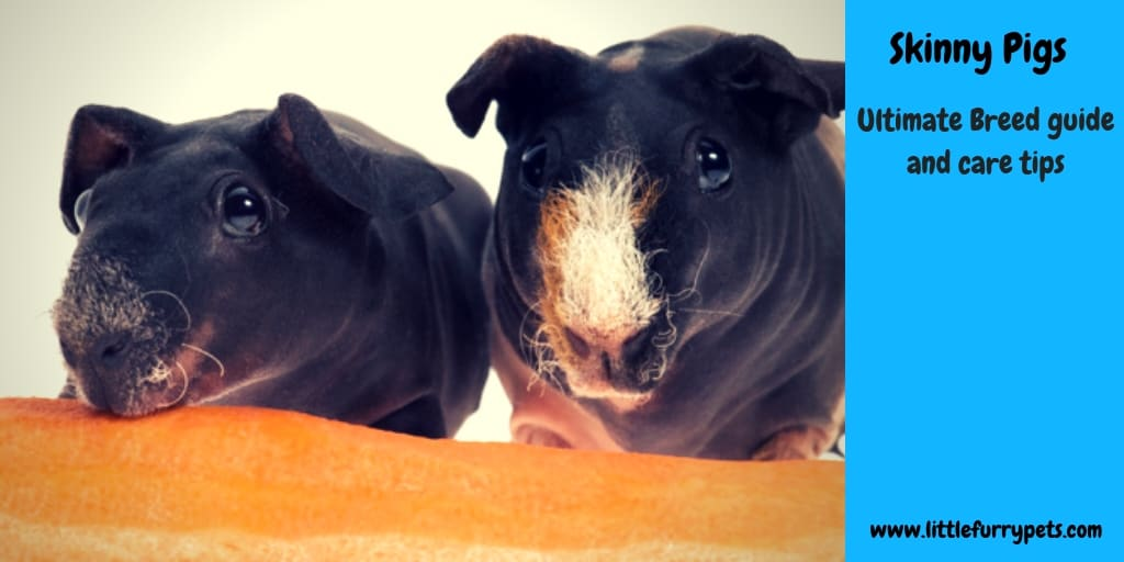 Skinny Pigs Breed guide