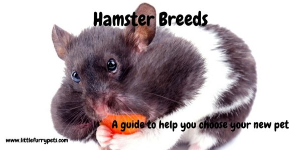 Hamster Breeds  – A guide to help you choose your new pet