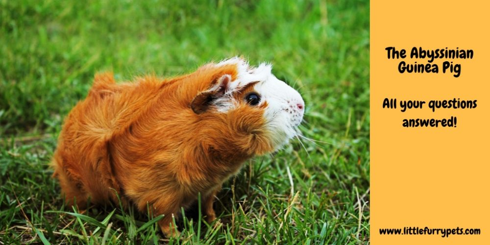 The Abysinnian Guinea Pig – All your questions answered!