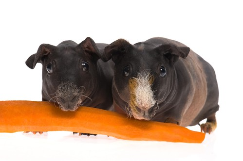 Skinny pigs eating a carrot