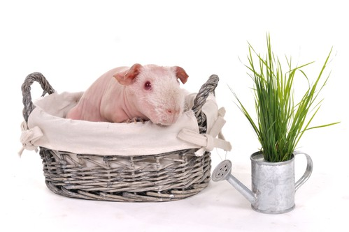 Skinny pig in a warm basket bed