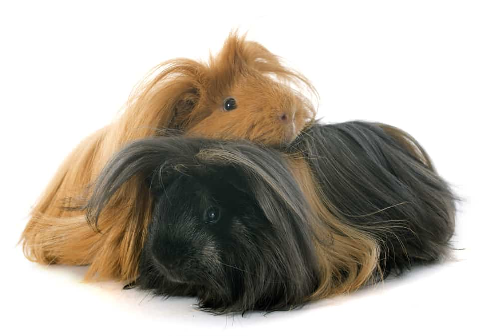 A pair of Peruvian Guinea Pigs
