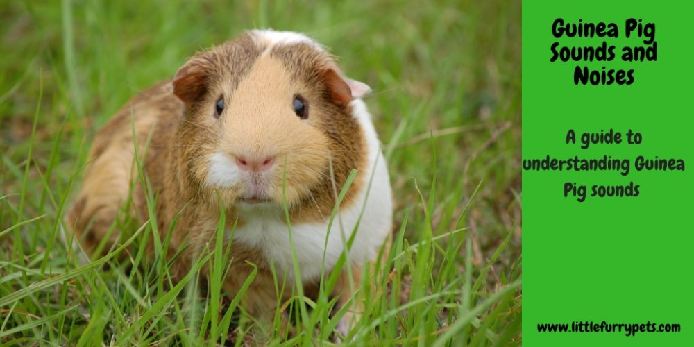 Guinea Pig sounds and noises, and what they can tell us!