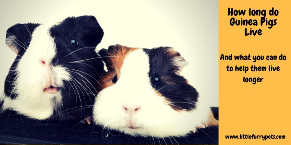 How long do Guinea Pigs live? And what you can do to help them live longer