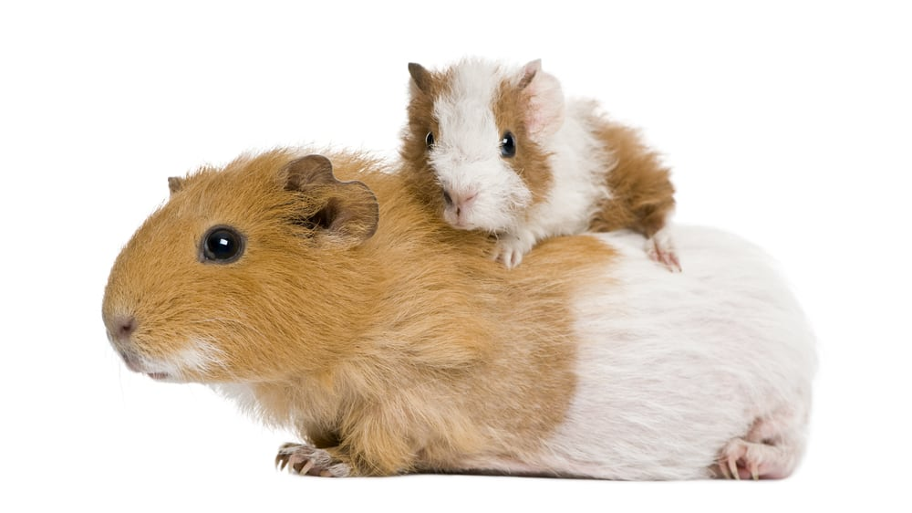 A mother and baby guine pig