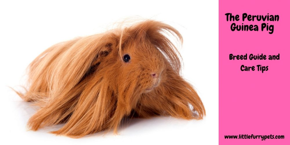 Peruvian Guinea Pig – Breed Guide and Care Tips