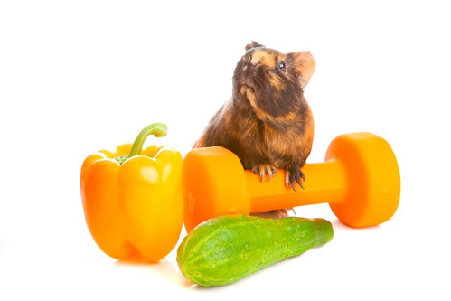 guinea pig with vegetables and a dumbbell