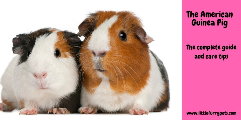 American Guinea Pig – The complete breed guide and care tips