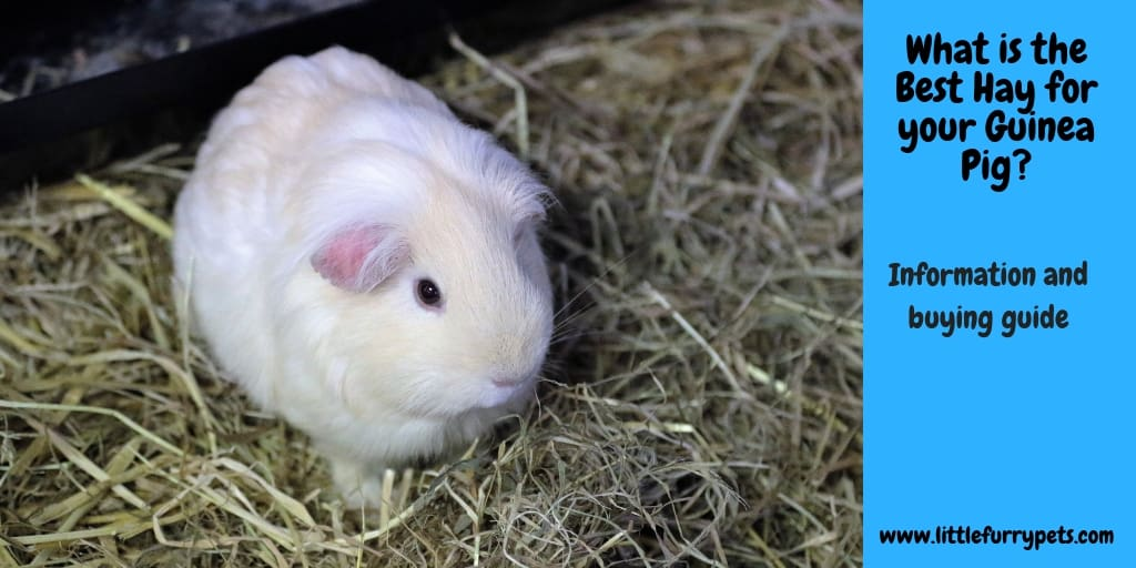 Best hay for Guinea Pig