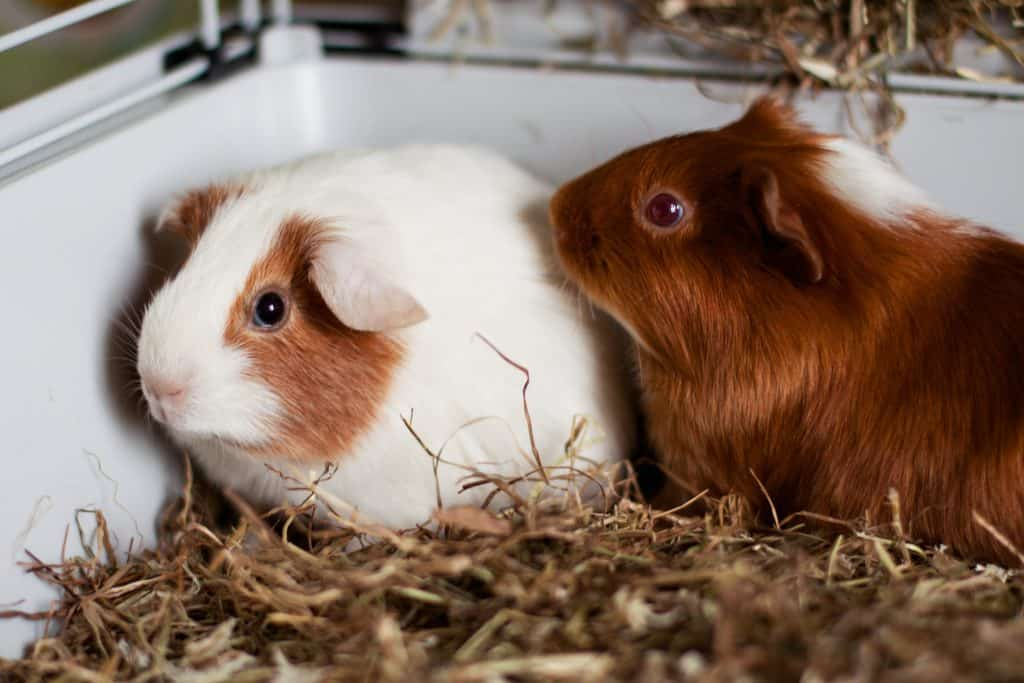 2 Guinea Pigs cuddled up
