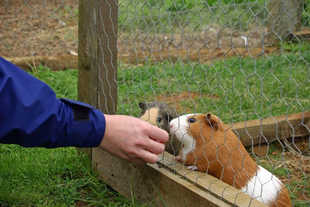 Guinea Pigs in outside run