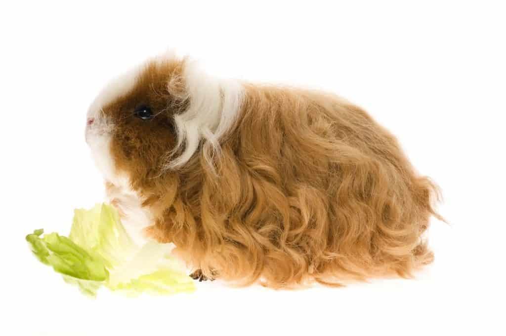Texel Guinea Pig Diet