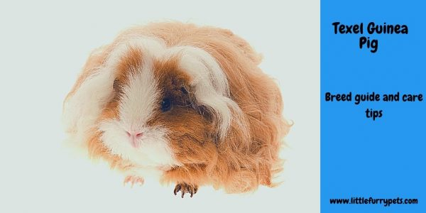 Texel Guinea pigs – a complete guide