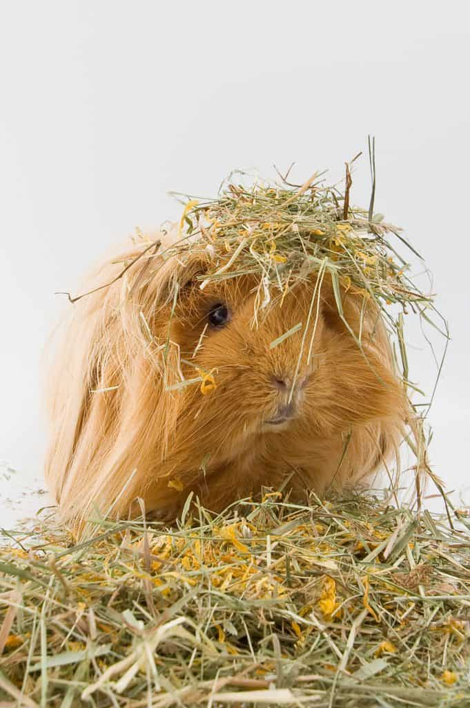the best hay for your guinea pig
