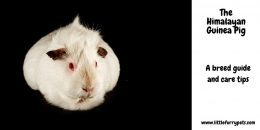 Himalayan Guinea Pig  – A breed guide and care tips