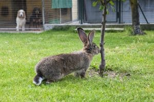 how long do rabbits live outdoors