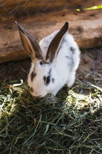 Best hay for a rabbit