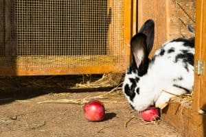 what fruit can rabbits eat