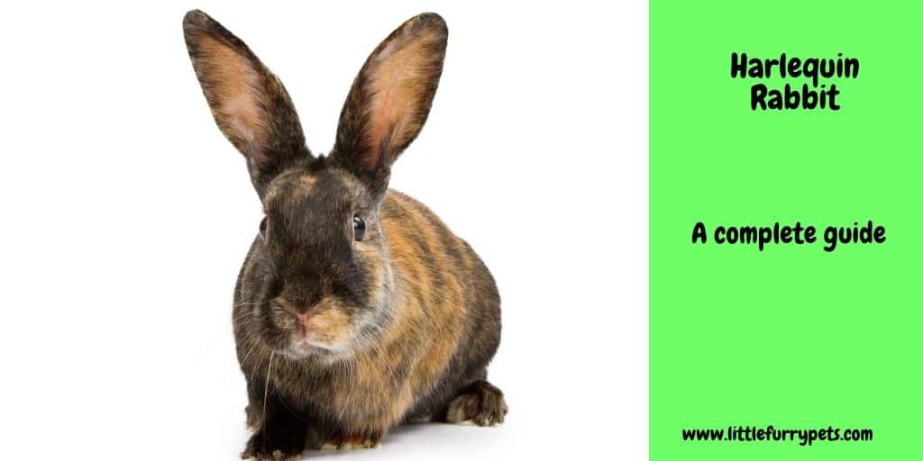 The multicoloured Harlequin Rabbit