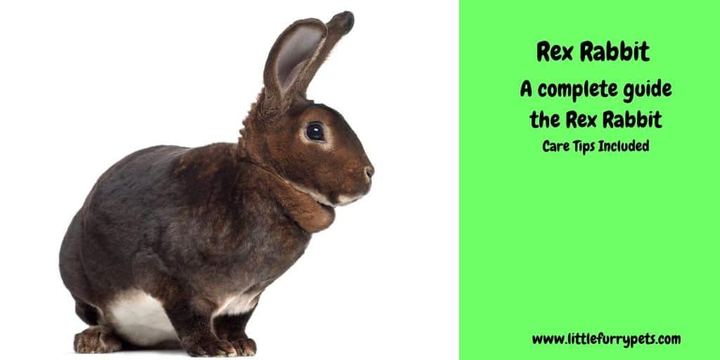 Rex Rabbit - care guide