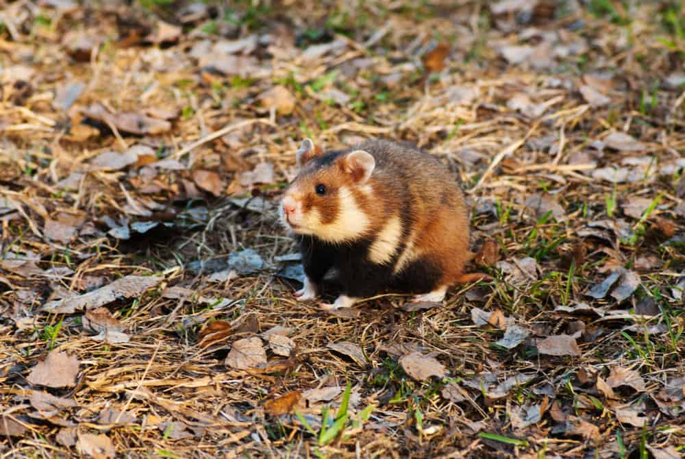 The larger than average European Hamster