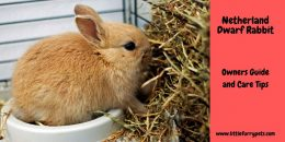 Netherland Dwarf Rabbit – A Guide to Ownership and Care