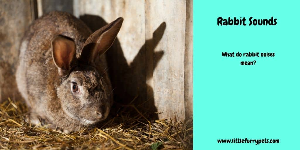 Rabbit sounds and what they tell us