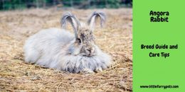 Angora Rabbit – The complete guide and care tips