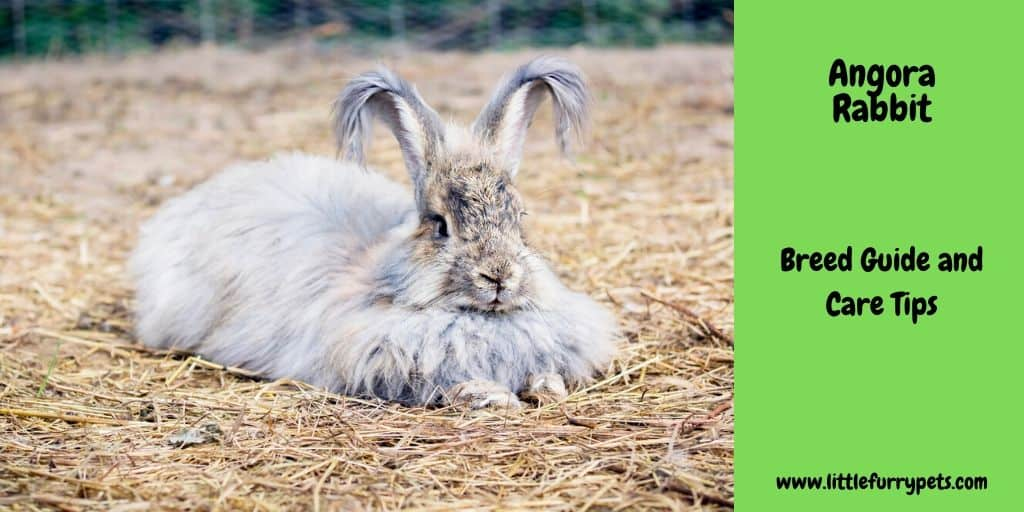 Angora rabbit breed guide