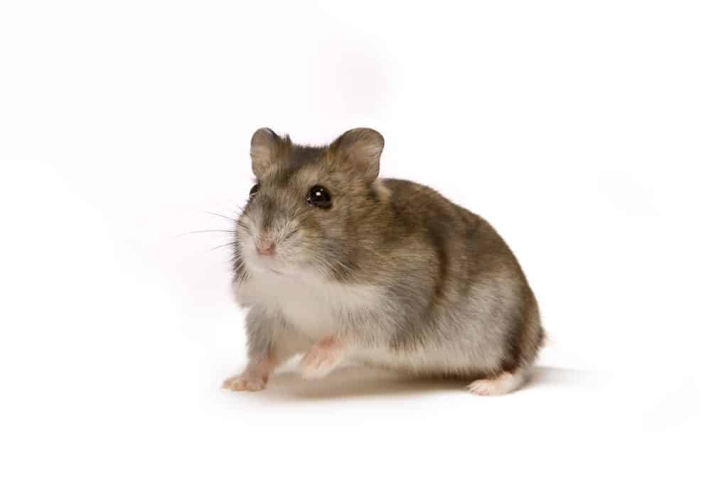 how long to robo hamsters live
