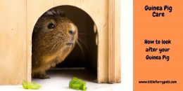 Guinea Pig Care Guide – How to look after a Guinea Pig