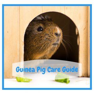 Guinea Pig looking out of door