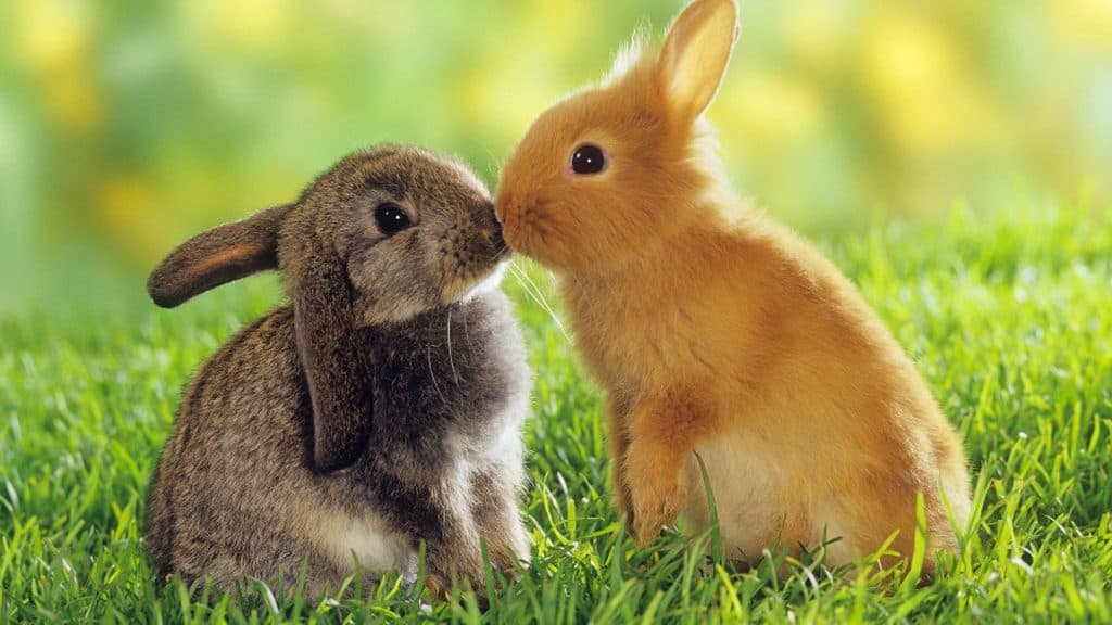 2 rabbits in a field kissing
