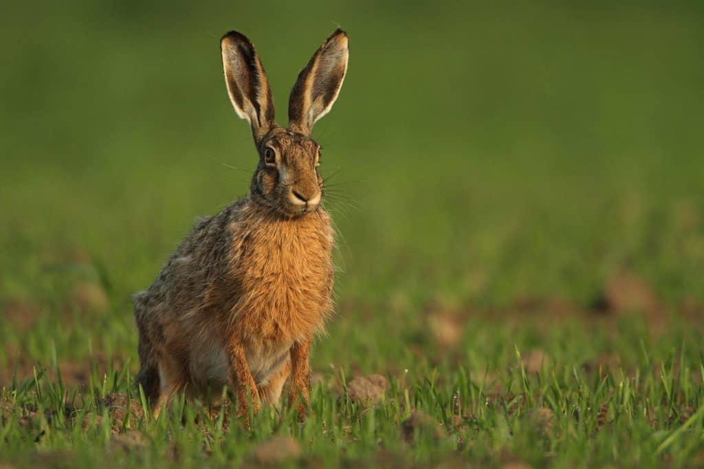 European Hare standing proud in a field