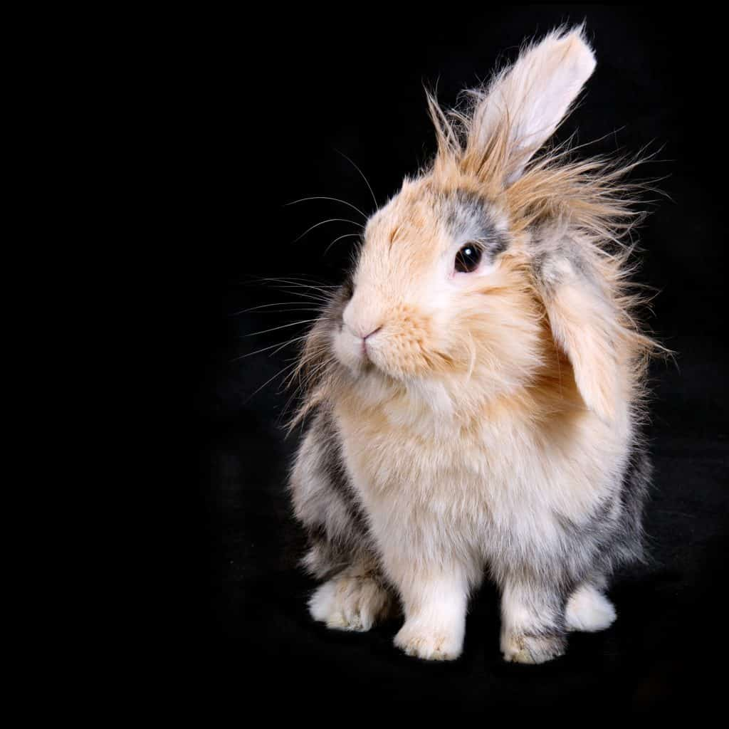 lionhead rabbit black background