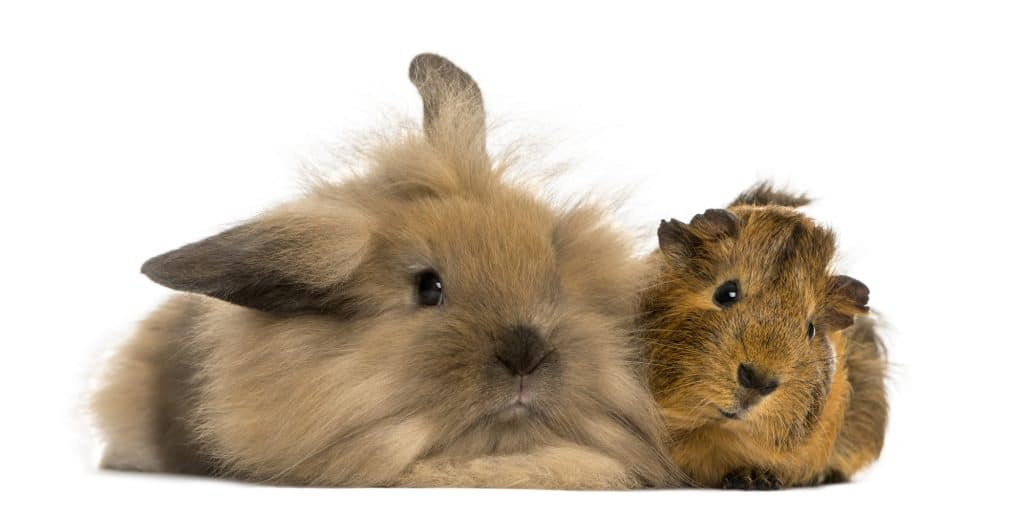 Rabbits and Guinea Pigs get along. Hamsters prefer to be alone.