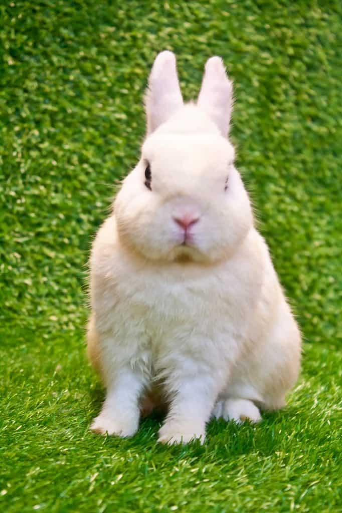 white dwarf hotot rabbit
