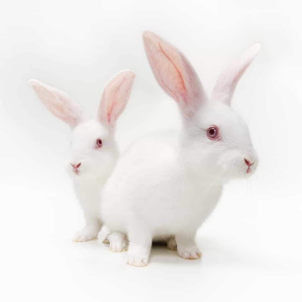 White Rabbits on white background