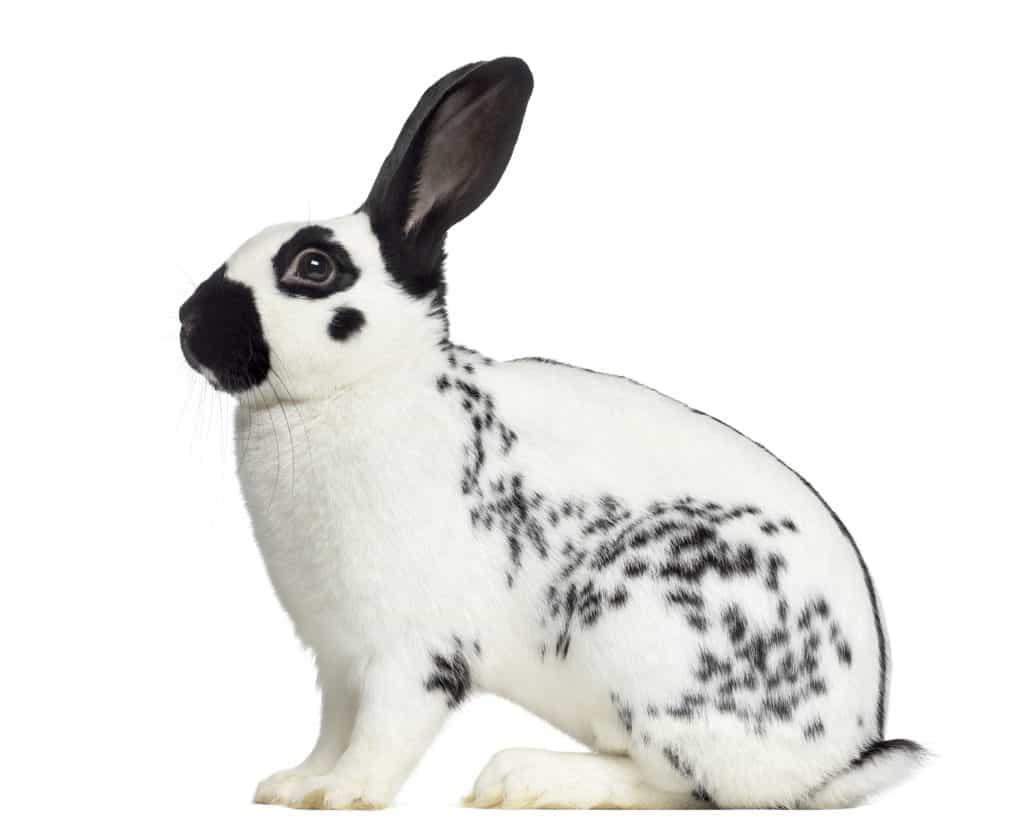 English Spot Rabbit sideways